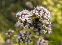 Close-up van Buff Tailed Bumble Bee Bombus-terrestris op de Wilde marjolein van de Oregobloem vulgare royalty-vrije stock afbeeldingen