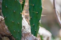 Close-up van cactussen met doornen stock afbeeldingen