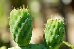 Close-up van Cactussen met stekelige peer stock foto's