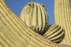 Close-up van cactussen Saguaro stock fotografie