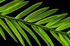 Close-up van Californische sequoianaalden Stock Afbeelding
