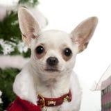 Close-up van Chihuahua, 8 maanden oud Stock Foto's