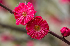 Close-up van Chinese Plum Blossoms Stock Fotografie