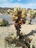 Close-up van cholla het springen cactus in Joshua Tree National Park Stock Foto's