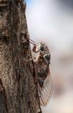 Close-up van cicade op de boom Royalty-vrije Stock Afbeeldingen