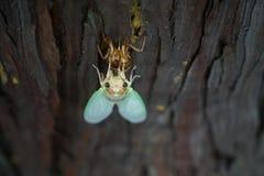 Close-up van cicade` s gezicht tijdens totstandkoming Royalty-vrije Stock Afbeeldingen