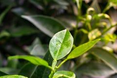 Close-up van citroenbladeren met dalingen van water Groene citroenblad en tak met waterdaling stock afbeeldingen