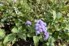 Close-up van corymb van lichte violette bloemen van Ageratum stock foto's