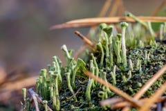 Close-up van Cyaankorstmos en mos in gevallen pijnboomnaalden bij ecosysteem van de de herfst het bospaddestoel Natuurlijke flora stock foto