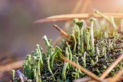 Close-up van Cyaankorstmos en mos in gevallen pijnboomnaalden bij ecosysteem van de de herfst het bospaddestoel Natuurlijke flora royalty-vrije stock foto