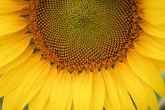 Close-up van de achtergrond van de zonnebloemtextuur Royalty-vrije Stock Afbeeldingen