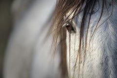 Close-up van de blik van een rasecht Spaans paard stock afbeelding