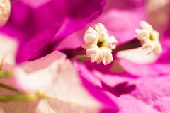 Close-up van de Bloei van Bougainvillea Royalty-vrije Stock Foto's