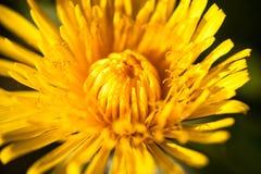 Close-up van de bloeiende gele paardebloembloem Royalty-vrije Stock Afbeeldingen