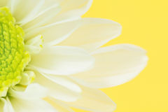 Close-up van de Bloem van de Margriet op Geel Stock Afbeelding