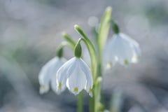 Close-up van de bloemen van de de lentesneeuwvlok Stock Fotografie