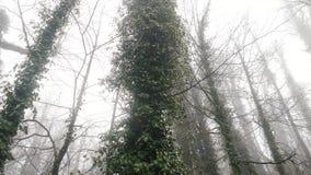 Close-up van de boomboomstammen die door lianas in mistige bosvoorraadlengte worden behandeld Autumn Landscape stock videobeelden