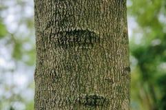 Close-up van de boomstam van de jacarandaboom royalty-vrije stock foto