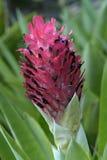 Close-up van de bromelia Stock Afbeelding