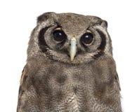 Close-up van de Eagle-uil van een Verreaux - Bubo-lacteus royalty-vrije stock afbeeldingen