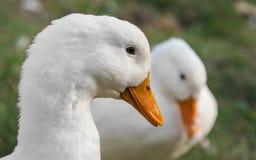 Close-up van de foto's de witte eend in openlucht Stock Foto