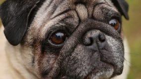 Close-up van de gelovige ogen van de hond, rimpelige pug die, op bevel wachten omhoog eruit zien die stock footage