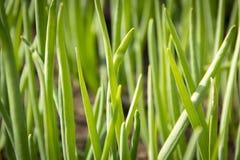 Close-up van de groene bedden van de uituin in het dorp Stock Afbeelding