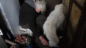 Close-up van de handen van de oude vrouw het melken een geit gezond en natuurlijk dieet in dorp stock footage