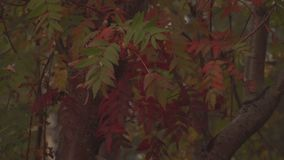 Close-up van de herfst de rode bladeren stock footage