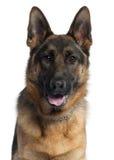 Close-up van de hond van de Duitse herder, 10 maanden oud Stock Afbeelding