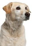 Close-up van de hond van het mengen-Ras, 12 jaar oud Stock Afbeeldingen