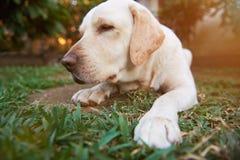 Close-up van de hond van slaaplabrador stock fotografie