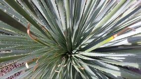 Close-up van de Installatie van de Woestijnlepel in Arizona de V.S. stock footage