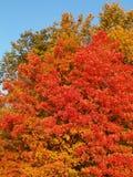 Close-up van de kleurrijke boom van de de herfstesdoorn Stock Afbeeldingen