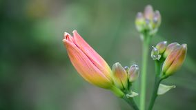 Close-up van de knop het roze lelie in aard stock videobeelden