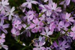 Close-up van de lentebloemen van sering Stock Foto