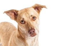 Close-up van de Mengeling van Chihuahua Corgi Royalty-vrije Stock Foto