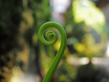 Close-up van de mooie krul van de varenboom omhoog in spiraalvormige vorm stock afbeelding