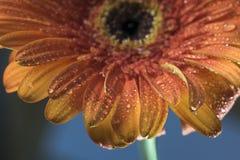 Close-up van de oranje bloemblaadjes van de gerberabloem die met druppeltjes worden behandeld Royalty-vrije Stock Afbeeldingen