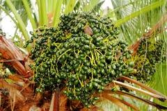 Close-up van de palmvruchten Stock Afbeeldingen