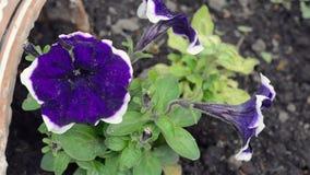 Close-up van de petunia stock video