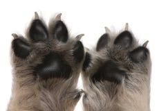 Close-up van de poten van het puppy, 4 weken oud Royalty-vrije Stock Afbeeldingen