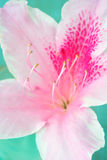 Close-up van de Roze Bloem van de Azalea Stock Foto's