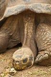 Close-up van de Schildpad van de Galapagos op Santa Cruz Island royalty-vrije stock afbeelding