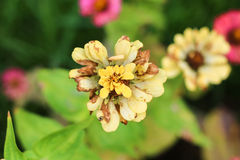 Close-up van de schoften Zinnia Stock Afbeelding