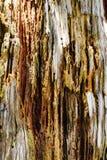 Close-up van de schors van de pijnboomboom in bos Stock Afbeelding