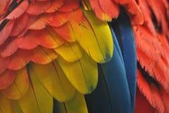 Close-up van de veren van de arapapegaai in rood, geel en blauw Royalty-vrije Stock Afbeeldingen