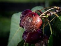 Close-up van de verrotting _Monilia van het kersenfruit stock afbeeldingen