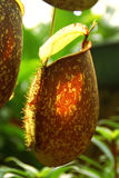 Close-up van de Waterkruiken van Nepenthes Royalty-vrije Stock Foto