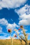 Close-up van distels tegen een blauwe hemel stock foto